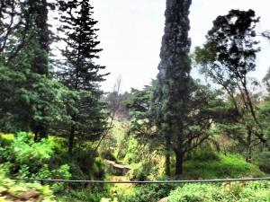 Grantræer!!!!