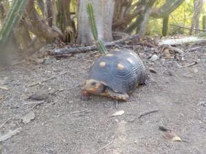 landskildpadde - Kopi