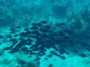 Mange blå fisk