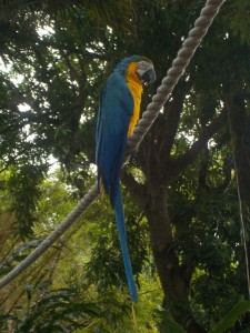 papegøje - Kopi