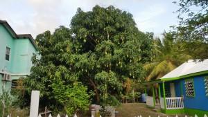 Mangotræ