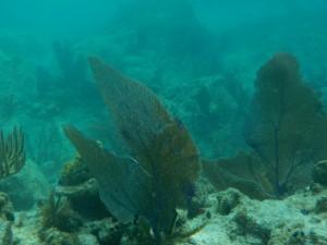 flot koral - Kopi
