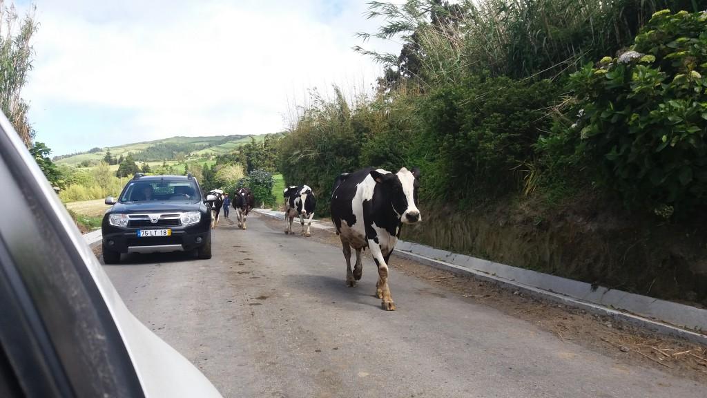 Køer på vejen