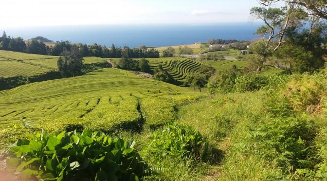 Azorerne - vulkaner, græssende køer og store bøffer